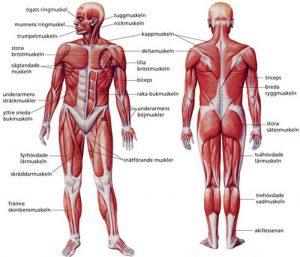 Människans Muskler